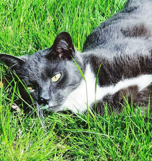 Cats Of EyeEm Sunbathing Cat Pets Field High Angle View Grass Close-up Green Color Grass Area