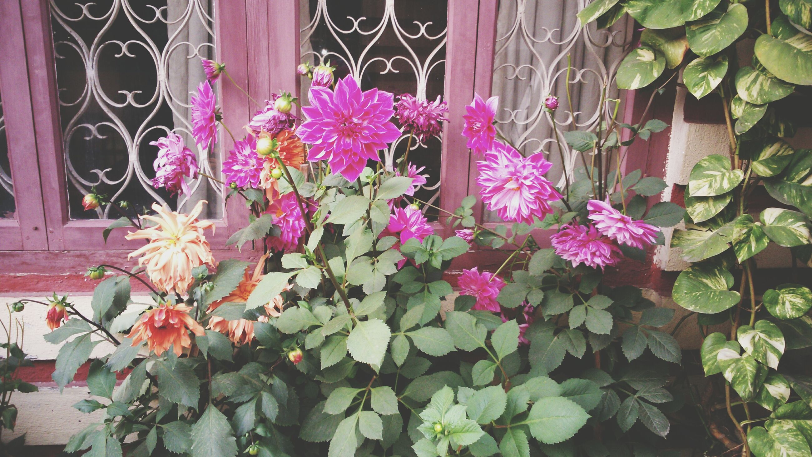 plant, flower, growth, leaf, potted plant, built structure, building exterior, architecture, freshness, house, fence, nature, front or back yard, green color, fragility, pink color, day, outdoors, no people, close-up