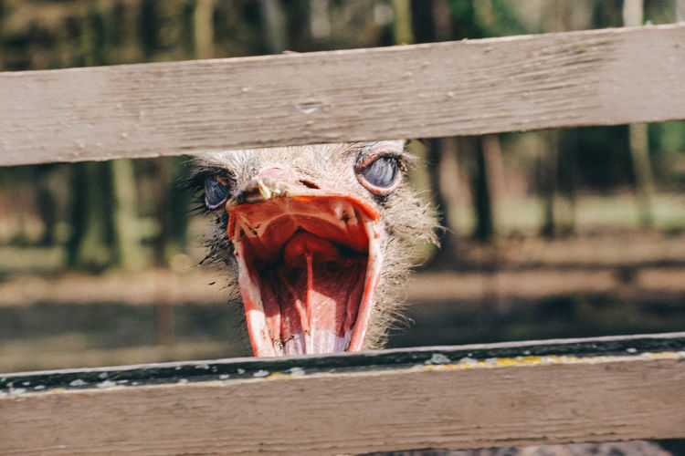 Head of a angry screaming ostrich with a wide open beak south