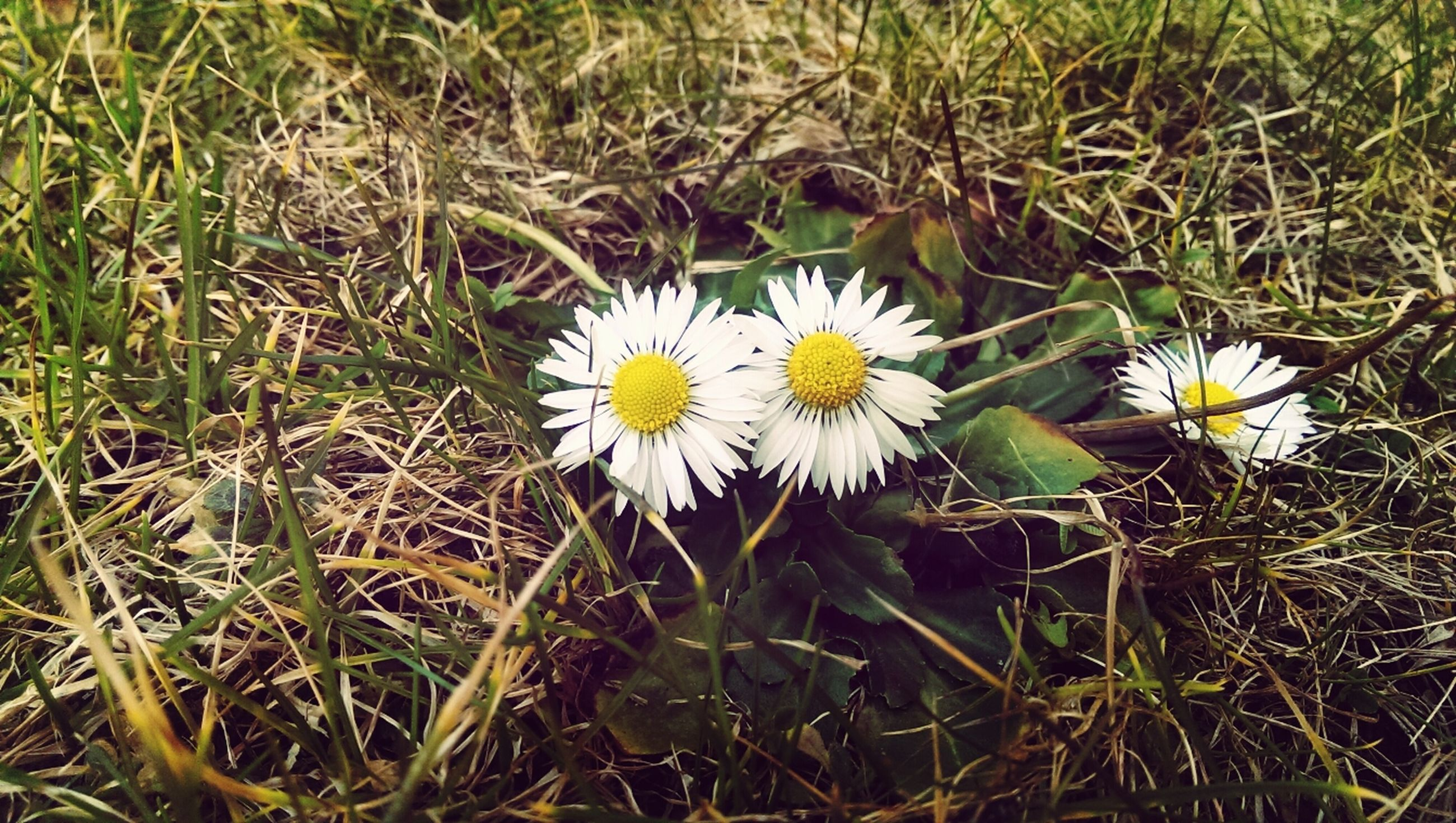 flower, white color, fragility, freshness, growth, grass, petal, daisy, flower head, field, beauty in nature, nature, plant, blooming, high angle view, single flower, white, green color, close-up, pollen