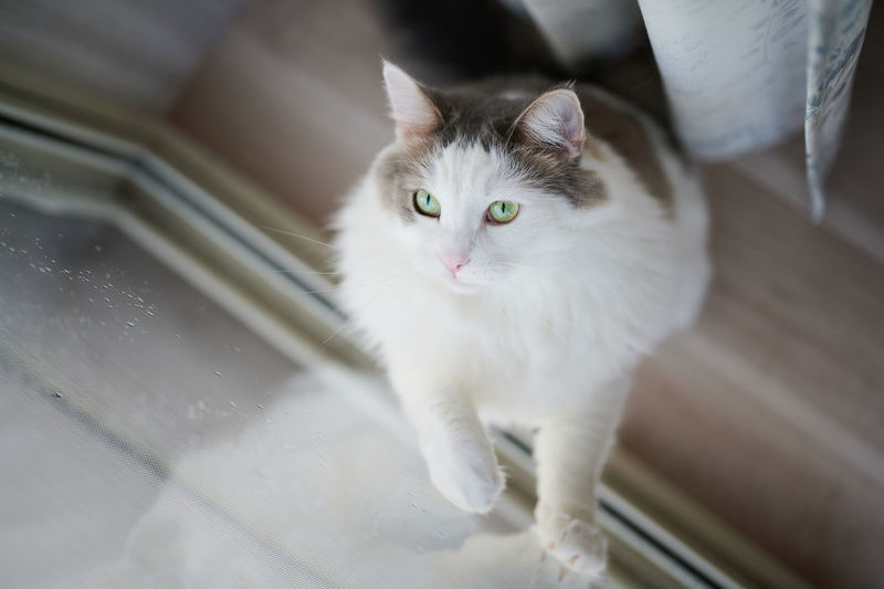 High angle portrait of white cat at home