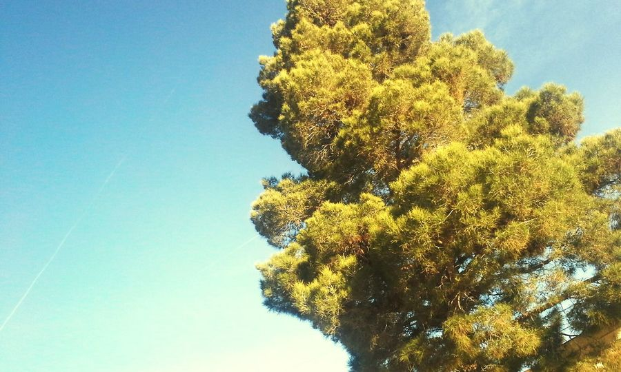 The Minimals (less Edit Juxt Photography) Pinetrees Pine Trees Eye Em Nature Lover Nature_collection EyeEm Nature Lover Tree And Sky Blue Sky The Purist (no Edit, No Filter) Ilovetrees