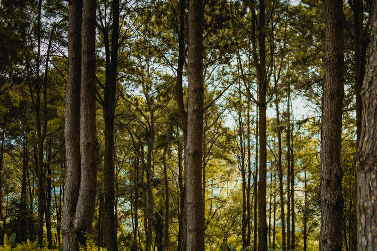 Tree Forest Plant WoodLand Land Tree Trunk Trunk Nature Growth Tranquility Beauty In Nature Day Scenics - Nature No People Low Angle View Outdoors Non-urban Scene Tranquil Scene Environment Abundance Pine Tree Bamboo - Plant Pine Woodland Rainforest Tree Canopy