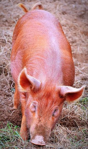 Pig Animal Animal Photography Outdoors Garden Lost Gardens Of Heligan Day Beauty In Nature Nature Cornwall