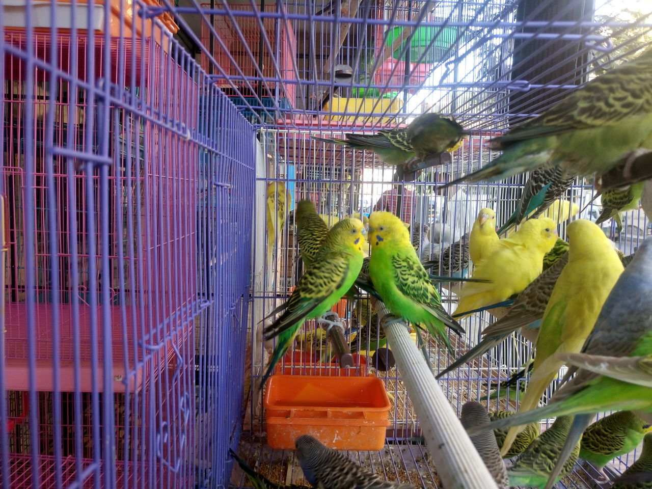 cage, birdcage, parrot, animal themes, animals in captivity, trapped, budgerigar, bird, animal wildlife, green color, indoors, no people, perching, pets, nature, day