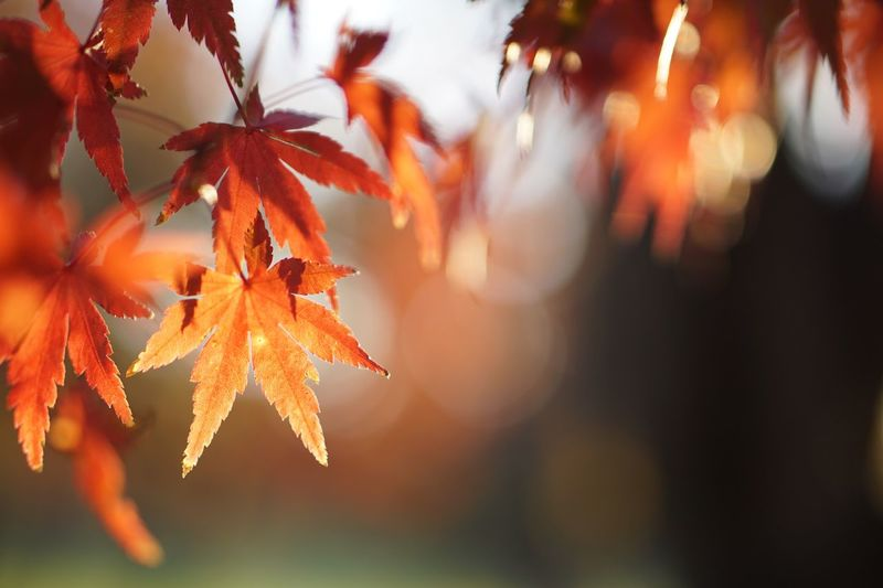 Maple Leaf Nature Autumn Leaf Light And Shadow Growth Sunlight Tree Focus On Foreground EyeEm Nature Lover Tranquility