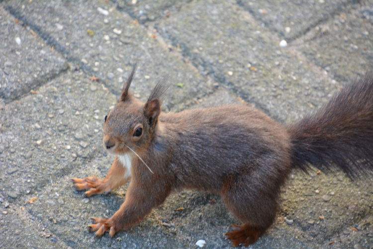 Squirrel Eichhörnchen Animals In The Wild Animal Themes One Animal Animal Animal Wildlife Mammal Rodent High Angle View Day No People Outdoors Full Length Nature City Street Footpath Brown Vertebrate Close-up