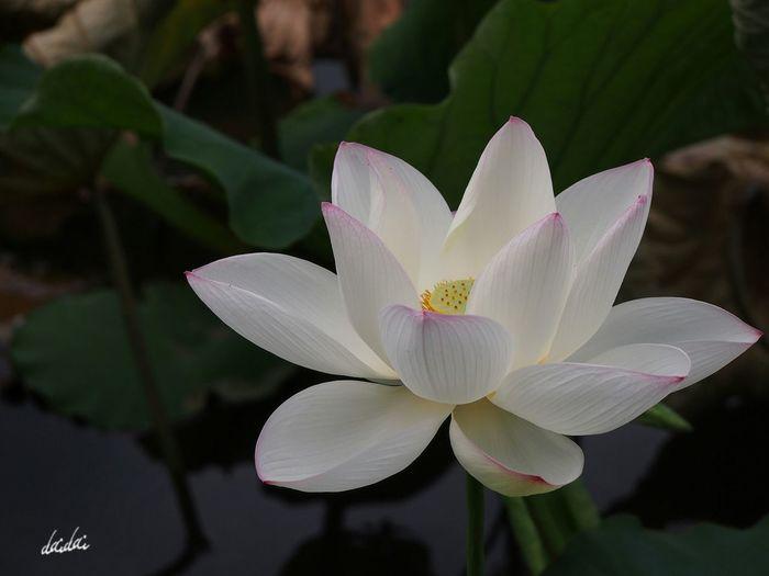 辛い時 辛いと言えたらいいのになぁ 僕達は強がって笑う弱虫だ E-PL3 Flower Lotus 蓮 決意の朝に Noedit
