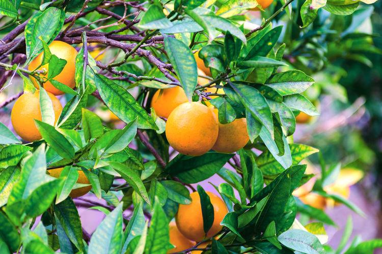 Ripe oranges or
