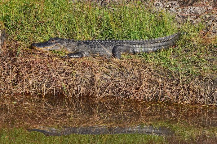 Late Autumn sun bath... In sunny Southwest FL. 😎😎😎 Nature Alligator EyeEm Nature Lover EyeEm Nature Collection