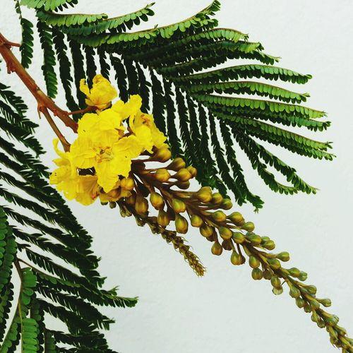 Flor do faveiro arvore alberi tree arbre bh BeloHorizonte