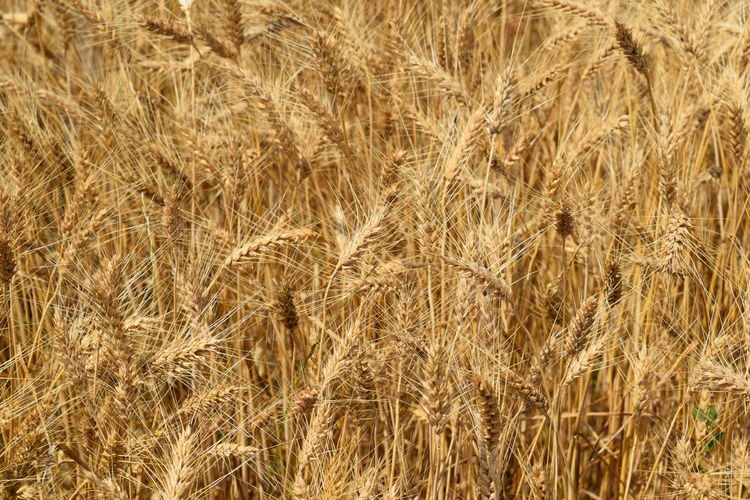 gold field Agriculture Backgrounds Beauty In Nature Cereal Plant Close-up Crop  Day Farm Field Full Frame Gold Colored Growth Land Landscape Nature No People Outdoors Plant Rural Scene Wheat