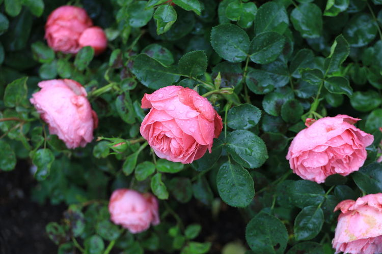 Close-up of raindrops on pink rose flowers