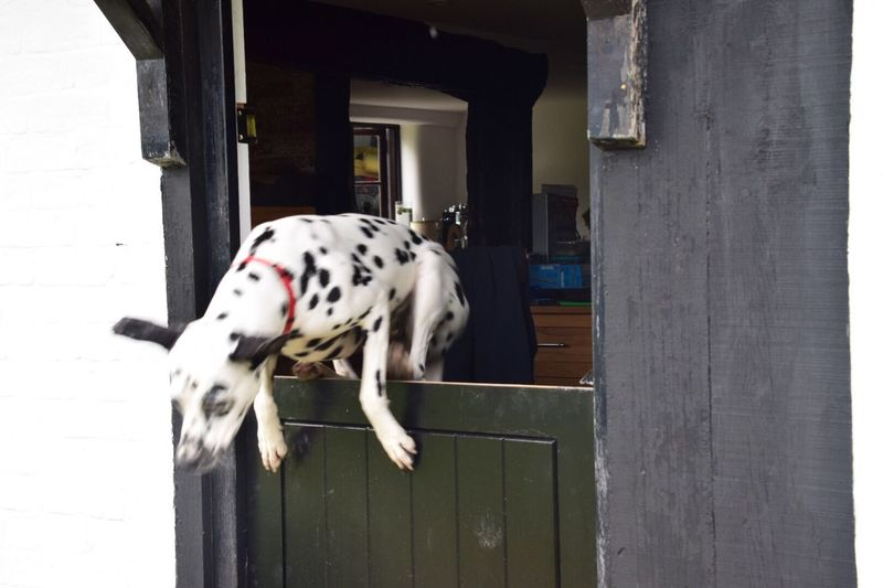 I was taking some shots of my sister's cottage stable door, when we discovered that her dog was able to escape via it! Animal Themes Dalmatian Dog Domestic Animals One Animal Mammal Dog Pets Day Outdoors Built Structure No People Building Exterior Stable Door Wood Dalmatian Escape 13th Century Old Buildings Wiltshire Old House Pet Portraits
