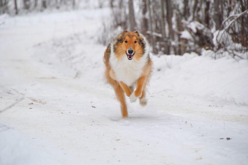 Dog running on snow covered landscape