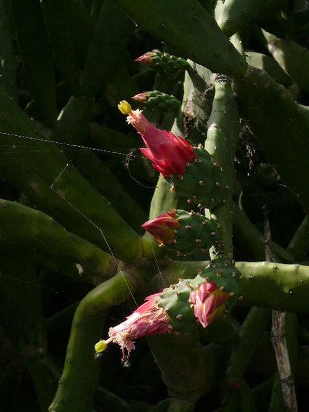 """""""México"""" Flower Nopales Pink Color Spider Web"""