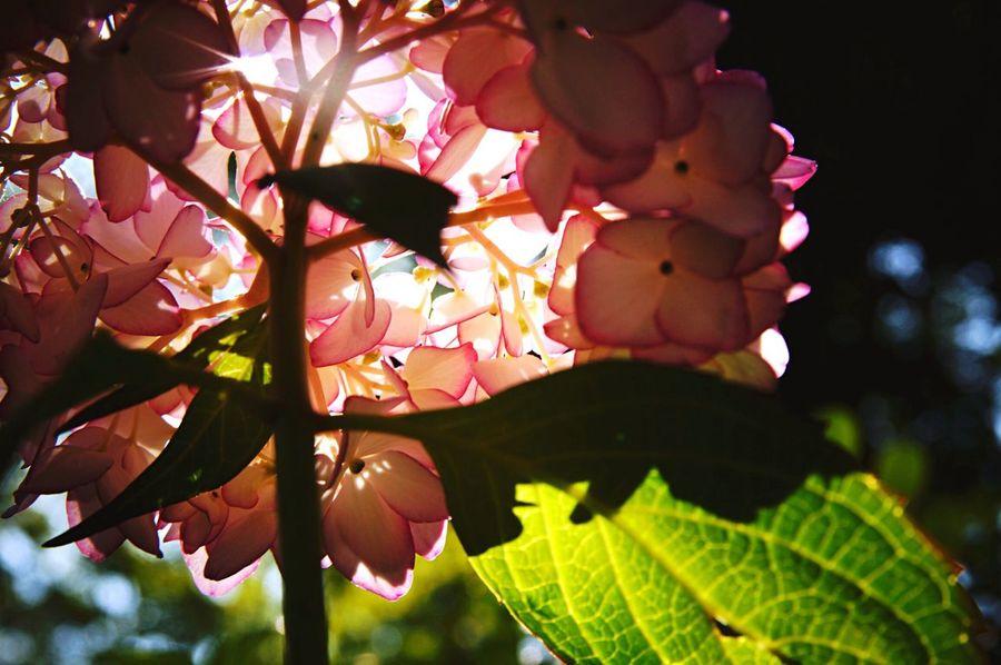 紫陽花の時期。下からのぞくのが好きです。 Japan 紫陽花 梅雨入り