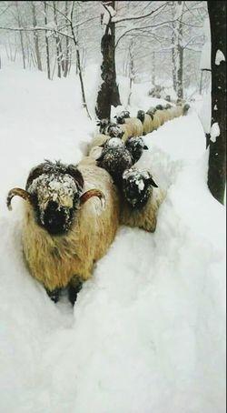 Taking Photos Hi! Cute Pets Cold Winter ❄⛄ Snow ❄ Sheep