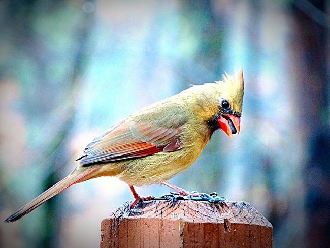Female Cardinal eating sunflower 🌻 seeds off of the banister. Bird Animal Themes One Animal Perching Animals In The Wild Focus On Foreground Day Animal Wildlife Outdoors No People Nature Close-up CardinalFemale