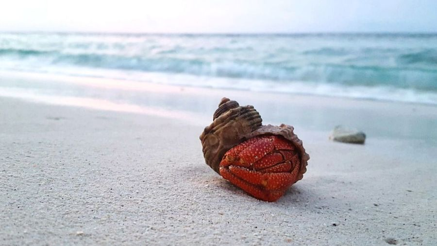 Beach Sea Sand Red Nature Wave Horizon Over Water Water Day Outdoors Indian Ocean Hermit Hermit Crab Maldives Summer SunsetSky Close-up Ari Atoll White White Sand Crustacean Shell Live For The Story Sea Life