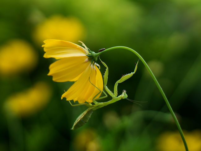 Animal In Nature Animal In The Wild Animal Themes Beauty In Nature Close-up Cosmos Flower Day Flower Flower Head Fragility Freshness Growth Insect Leaf Mantis Nature Nature Reserve No People Outdoors Petal Plant Predator Yellow