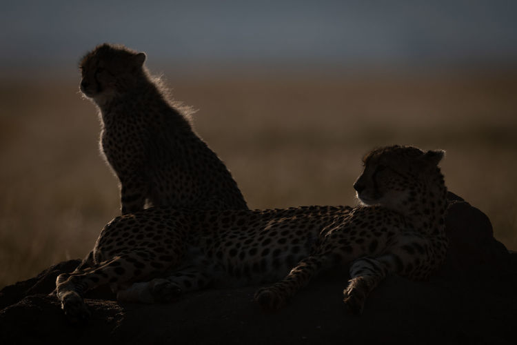 Silhouette cheetahs sitting on rock during sunset