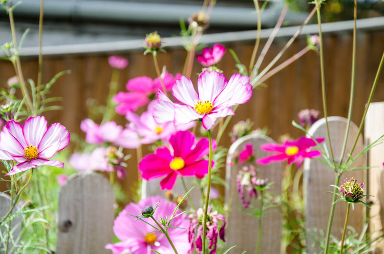 Cosmos Beauty In Nature Botany Close-up Cosmos Bipinnatus Day Flower Flower Head Flowering Plant Focus On Foreground Fragility Freshness Growth Inflorescence Nature No People Outdoors Petal Pink Color Plant Pollen Selective Focus Vulnerability