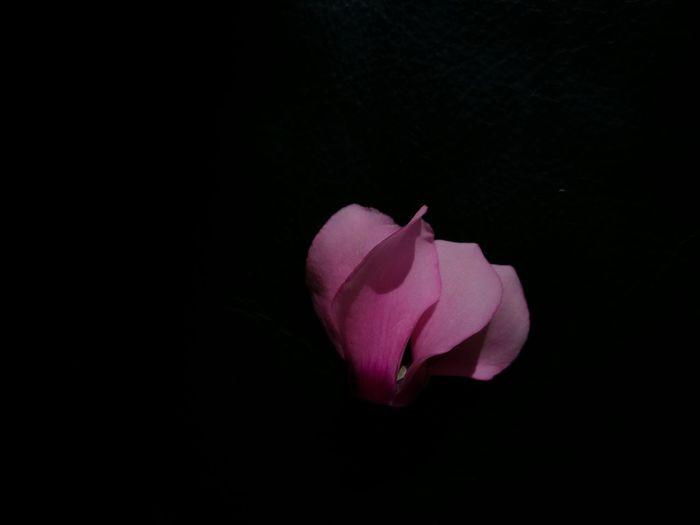 Syclamen.flower For Winter. Flower Fragility Flower Head Pink Color Close-up Freshness Nature Beauty In Nature Softness Black Background Dark Petal Single Flower Studio Shot Makeshift Studio