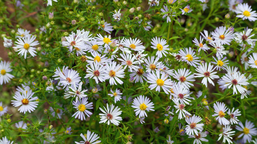 Daisy flower in the autumn Flowering Plant Flower Plant Beauty In Nature Freshness Fragility Vulnerability  Petal Growth Flower Head Inflorescence White Color No People Close-up Nature Day Daisy Outdoors Focus On Foreground Pollen Flowerbed Autumn Autumn colors Green Color Colors