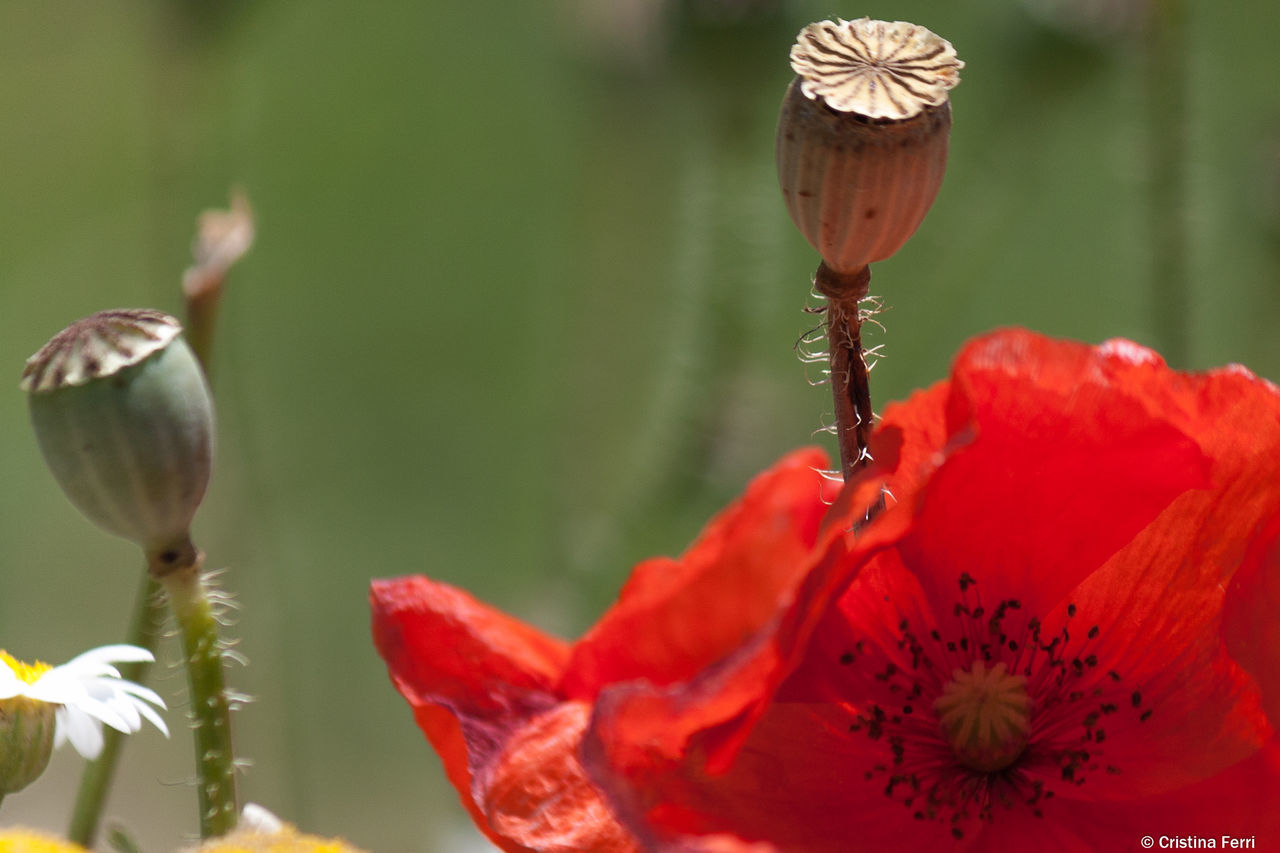 flower, nature, petal, beauty in nature, fragility, growth, plant, close-up, water, freshness, flower head, no people, focus on foreground, day, outdoors, poppy, leaf, blooming, lotus water lily