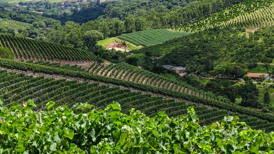 ezefer Agriculture Landscape Growth Rural Scene Plant Crop  Land Field Scenics - Nature Green Color Farm Environment Tranquil Scene Tranquility Nature Beauty In Nature Tree No People Plantation High Angle View Outdoors Winemaking Tea Crop Jundiaí Winery Vineyard Grapes Grape