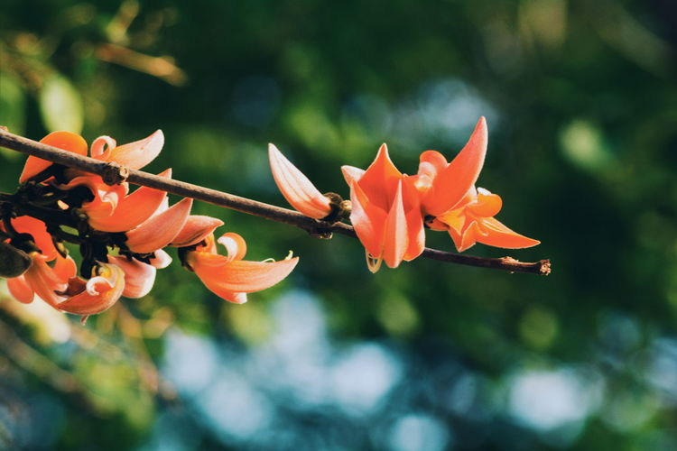 Flowering Plant Flower Plant Vulnerability  Fragility Petal Beauty In Nature Freshness Growth Close-up Flower Head Inflorescence Focus On Foreground Orange Color No People Nature Day Outdoors Plant Stem Botany