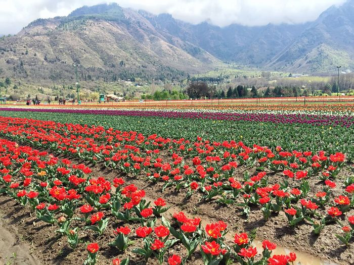 This Place Reminds me of you! Tulips Garden Flower Beauty In Nature Nature Colors Landscape Tranquil Scene Mountain Backgrounds Abundance Flowerbed Freshness 🌷😁 Kashmir India Check This Out Packyourthingsandtravel Outdoors Travel Holiday