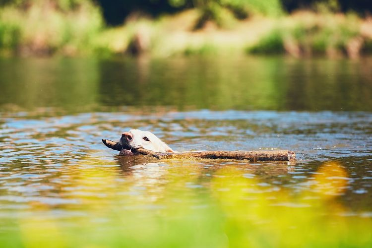 Close-Up Of Dog Swimming In Lake