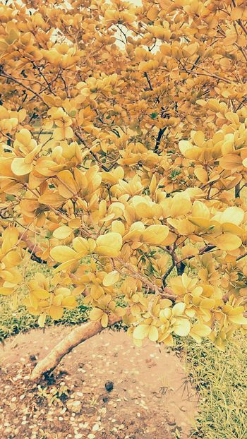 Shrub Tree Colorful Bushes Nature And Color Tree And Colors Tree Photography Color On Tree Beauty Of Nature Tree_collection  Tree Colors Art On Tree Art Of Color Tree And Colorful Nature Color Leaves Color Leaf Pattern Beautiful Nature Vintage Vintage Tree Vintage Tone Yellow Tree Yellow Tones Leaves Photography Creative Color