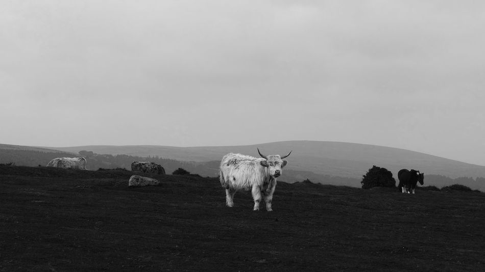 White Highland cow in Landscape Adventure Arid Arid Climate Backgrounds Black And White Brown Copy Space Desert Escapism Landscape Natural Pattern No People Outdoors Recreational Pursuit Running Sand Dune Taken On Mobile Device Togetherness Wave Pattern White Long Horned Horn Horny Cattle Cow Herd Herding Herds Hair Hairy Landscape Weathered Weathered Weather Rain Rainy Mist Misty Wind Windy Windswept Cow Cows Bull Effer Calf Calves Cloud Clouds Cloudy Sky Photography Reportage Documentary Taking Photos