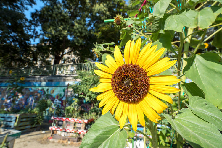 Beauty In Nature Blooming Close-up Flower Flower Head Focus On Foreground Nature Outdoors Plant Sunflower Yellow