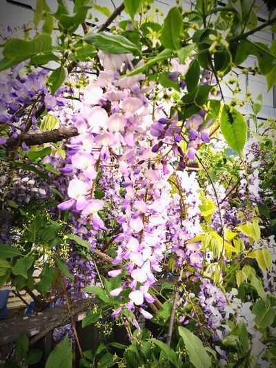 Wisteria Flower Springtime Branch Plant Nature Purple