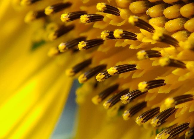 Sunflower 🌻 Nature_collection Naturelovers Nature_lovers Nature Photography Nature_landscape Yellow Flower Sunflower Sunflowers🌻 Flower Yellow Backgrounds Full Frame Yellow Background Close-up Flower Head Blooming Petal In Bloom Stamen Pollen Single Flower