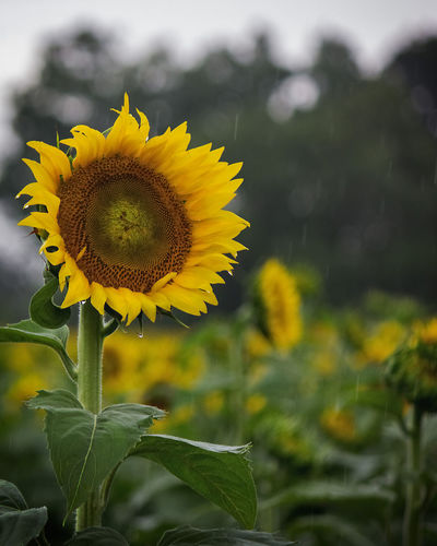 Rainy Day Sunflower Flower Flowering Plant Plant Yellow Flower Head Fragility Growth Beauty In Nature Vulnerability  Petal Focus On Foreground Close-up Sunflower Nature Day Field Plant Part No People Outdoors Sunflower Rainy Day