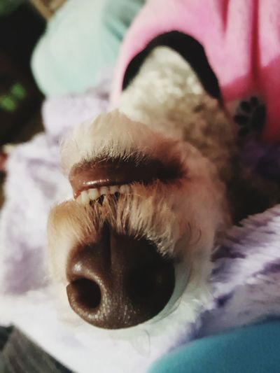 Love that nose 😍😍 Love ♥ Puppy Love Bedlington Terrier Brownnoser