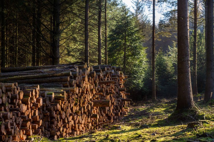 Tree Plant Land Forest Nature No People WoodLand Day Outdoors Timber Stack Log Deforestation Wood - Material Lumber Industry Wood Environmental Issues Firewood Abundance Large Group Of Objects Fuel And Power Generation Woodpile My Best Photo