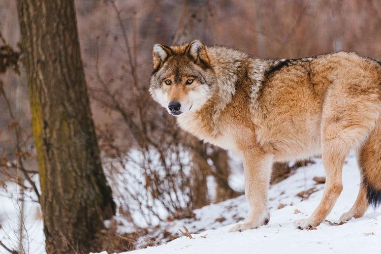 Grey wolf Wolf Canis Lupus Predator Wildlife Snow Animal Mammal Nature Winter Canine Wild Grey Wolf Canivore Gray Wolf Timber Timber Wolf Fauna Dangerous Animals Beast Wolf In Snow Predatory Paw