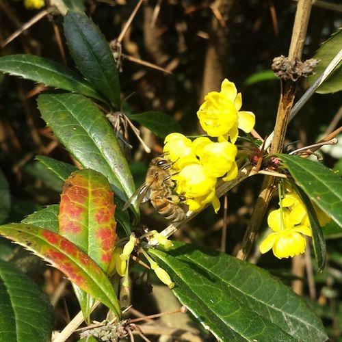 Bee Arı Yellow Dişbudak flower beautiful natural