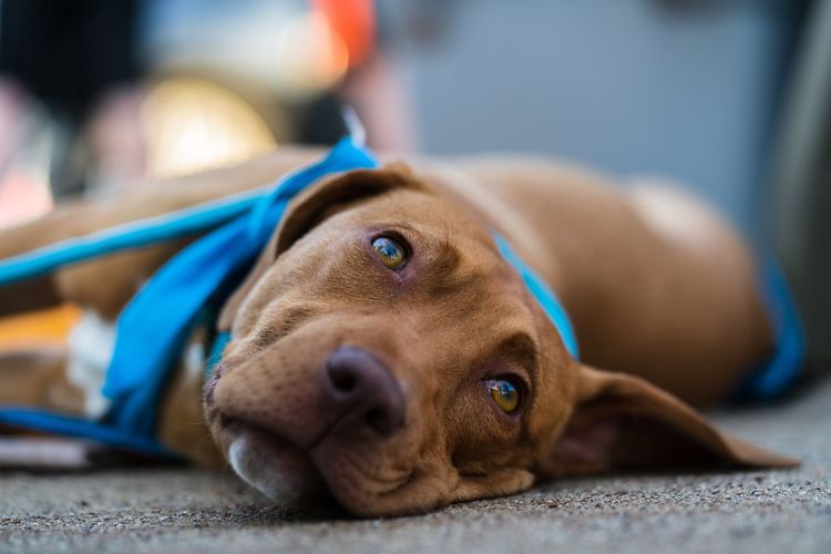 Street Dog Dog Canine Pets Domestic One Animal Domestic Animals Mammal Animal Themes Relaxation Animal Lying Down Resting No People Close-up Portrait Brown Visual Creativity