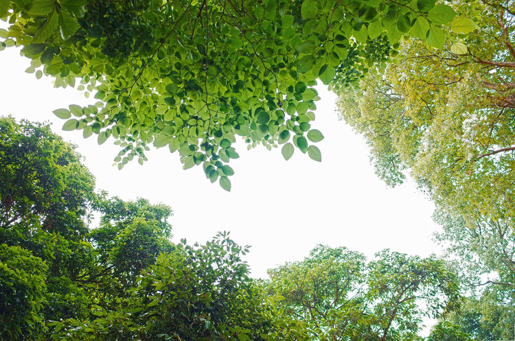 Beauty In Nature Branch Clear Sky Day Foliage Freshness Green Green Color Growth Leaf Low Angle View Nature No People Outdoors Plant Plant Part Scenics - Nature Sky Tranquility Tree Tree Canopy