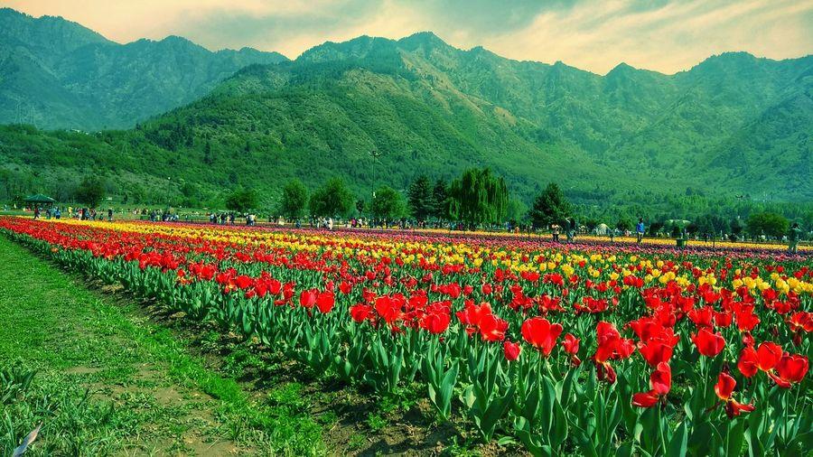 Kashmir, Tulip garden, Heavenly Tree Rural Scene Agriculture Flower Head Field