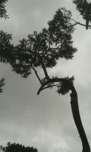 Pinien Baum