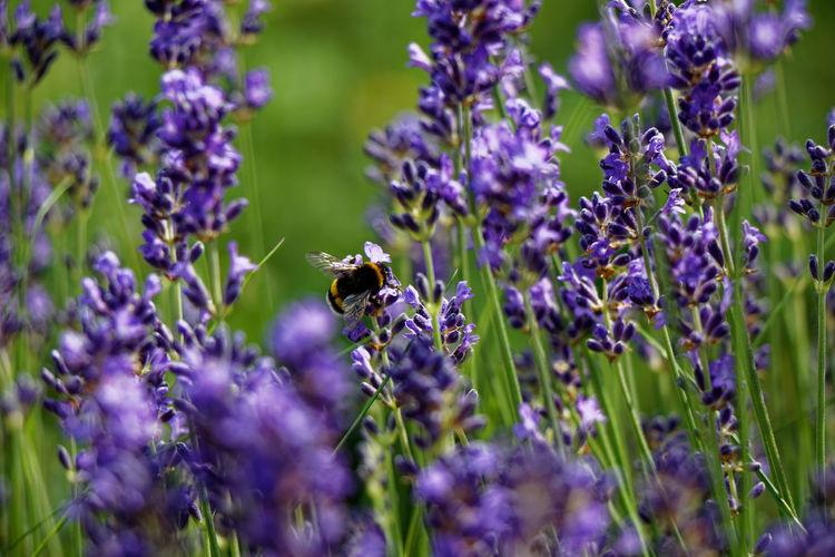 Honey bee pollinating on purple flower