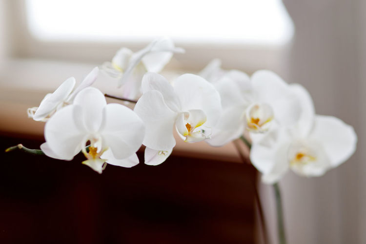Close up beautiful white Orchid plant Flower Flowering Plant Plant Freshness Fragility Vulnerability  White Color Petal Beauty In Nature Indoors  Close-up Focus On Foreground Orchid Flower Head Inflorescence No People Nature Luxury Selective Focus Domestic Room Purity Flower Arrangement Orchid Blossoms Orchid